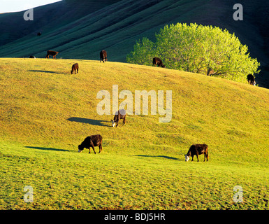 Cows grazing on hillside near Williams, California - Stock Photo
