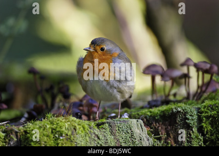 Rotkehlchen (Erithacus rubecula) European Robin - Stock Photo
