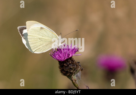 Small White Butterfly (Pieris rapae) - Stock Photo
