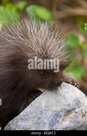 A baby porcupine, near Seward, Alaska. - Stock Photo