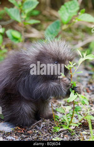 A baby porcupine, near Seward, Alaska. - Stock Photo