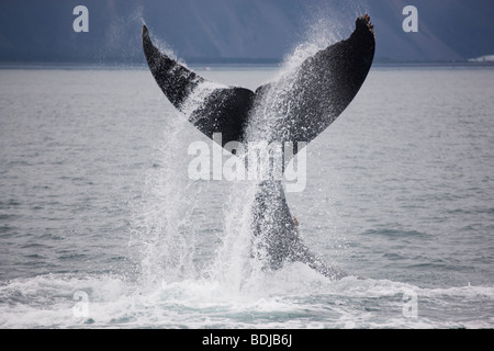 Humpback Whale, Kenai Fjords National Park, Alaska. - Stock Photo