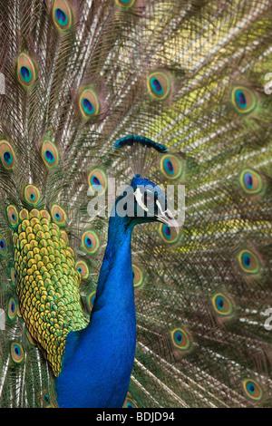 Portrait of Peacock - Stock Photo
