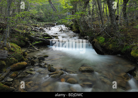 Stream in Forest, Tierra del Fuego National Park, Near Ushuaia, Argentina - Stock Photo