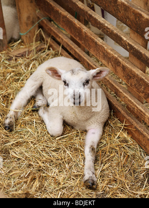 Lamb in Pen Stock Photo