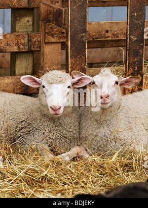 Sheep in Pen Stock Photo