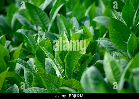 Tobacco leaves growing for Pinar del Rio cigars. - Stock Photo