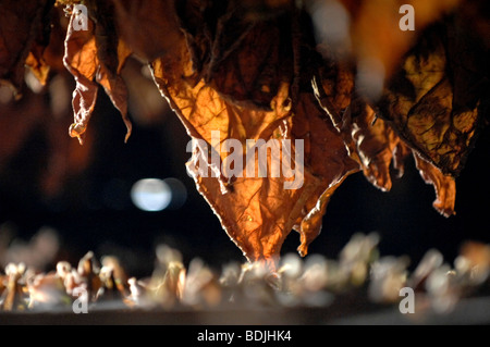 Tobacco leaves drying for Pinar del Rio cigars, Cuba. - Stock Photo