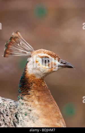 Female Peacock - Stock Photo