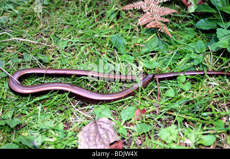 A Slow Worm sitting on grass - Stock Photo
