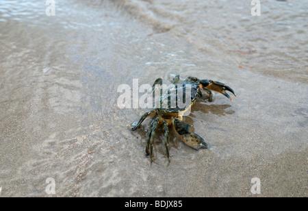 A common shore crab on a sandy shore - Stock Photo