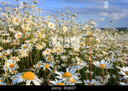 Close up of a field full of Common Oxeye Daisies - Stock Photo