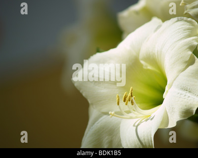 Beautiful Easter Lily or November lily with a green background - Stock Photo