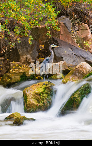Great Blue Heron (Ardea herodias) in the Virgin River, Zion National Park, Utah - Stock Photo