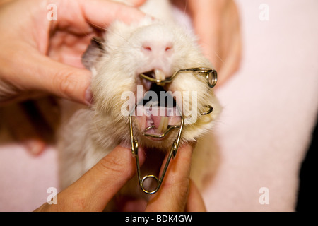 Guinea Pig Anaesthetic for Dental Procedure - Stock Photo