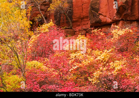 Fall Bigtooth maple and cottonwood in Zion Canyon, Zion National Park, Utah - Stock Photo