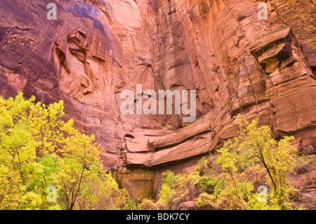 Fall cottonwoods in the Temple of Sinawava in Zion Canyon, Zion National Park, Utah - Stock Photo