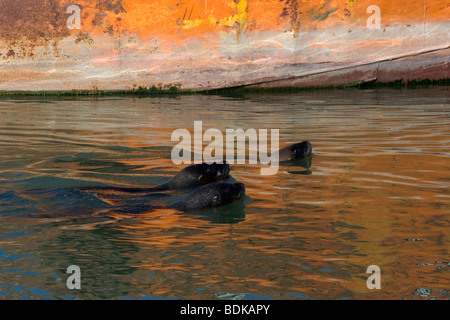 Southern sea lions, Otaria byronia, swim close to a rusty ship, Rawson, Argentina - Stock Photo