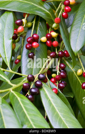 Cherry Laurel Prunus laurocerasus with berries Kent UK summer - Stock Photo