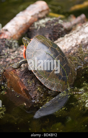 North American Western Painted Turtle (Chrysemys picta belli). Emerging from cool water to warm up in sun light - Stock Photo