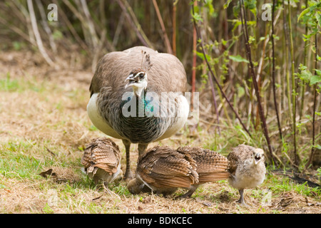 Blue, Indian or Common Peafowl (Pavo cristata). Peahen or female, with month old chicks. - Stock Photo