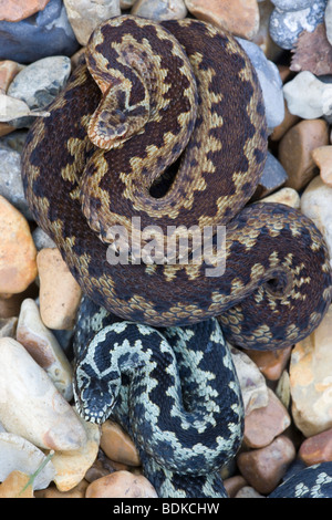 Adder or Norther Viper (Vipera berus). Sexually dimorphic. Female top, male below. Dorsal view. - Stock Photo