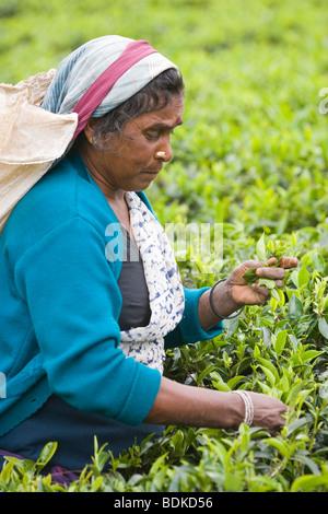 Tamil Woman Tea Picker. Gathering leaf tips for processing. Tea Estate, Central Highlands, Sri Lanka. - Stock Photo