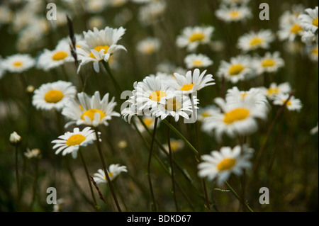 Wild daisies growing on the mountainside in the Canadian Rockies - Stock Photo