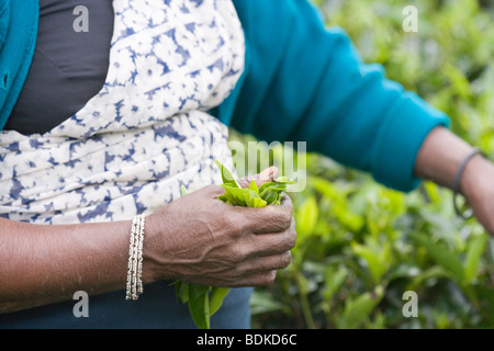 Woman's hand holding a plucked collection of green, freshly collected tea leaves. About to be transferred to bag - Stock Photo