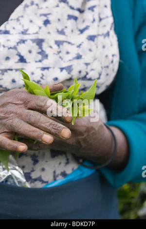Tamil Tea Picker's hands clutching just gathered, fresh green leaf tips . (Camellia sinensis). Central Highlands, - Stock Photo