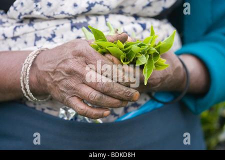 Tamil Tea Picker's hands holding fresh green tea leaf tips, just plucked. Central Highlands. Sri Lanka. - Stock Photo