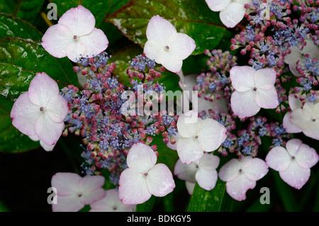 Wet Hydrangea Serrata Beni-Gaku at Annapolis Royal Historic Gardens Nova Scotia - Stock Photo
