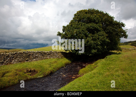 Lone tree by a stream at Low Birkwith in the Yorkshire Dales England UK - Stock Photo