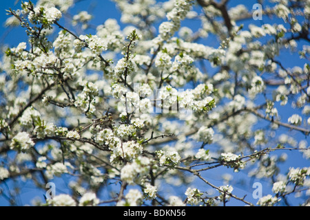 Blooming plum tree with white flowers on blue sky background, soft focus - Stock Photo