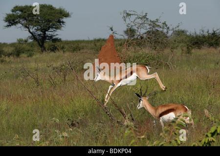 Captive Springbok (Antidorcas marsupialis) jumping on a game ranch in Otjiwarongo, Namibia - Stock Photo