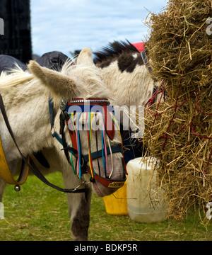 Donkey Eating Hay - Stock Photo