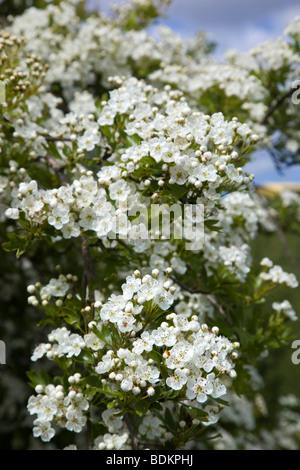 hawthorn; Crategus monogyna; blossom - Stock Photo