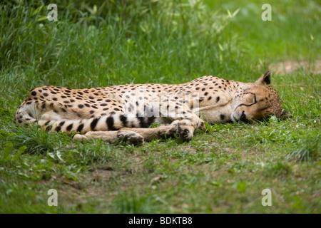 cheetah sleeping stock photo 19497792 alamy