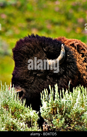 Headshot of a bison in the Lamar valley in yellowstone national park - Stock Photo