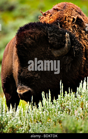 Portrait of a bison in the Lamar valley in yellowstone national park - Stock Photo