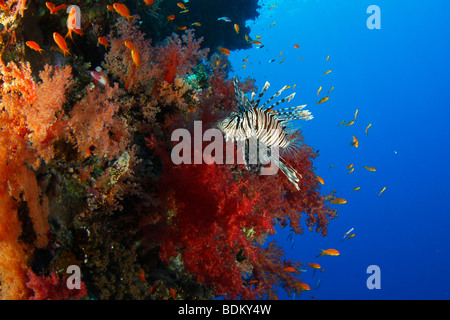 A common lionfish swimming along a beautiful reef wall covered with brightly colored red soft corals and fairy red - Stock Photo