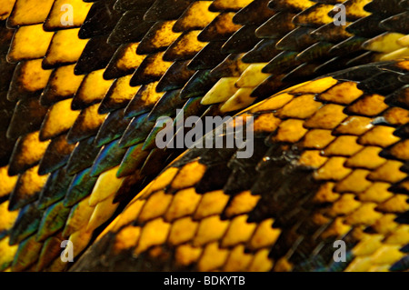 Yellow and black patterned snake skin - Stock Photo