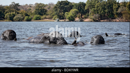 Five African Elephants swimming across the Chobe river, from Chobe National Park, to Kasikili/Sedudu Island in northern - Stock Photo