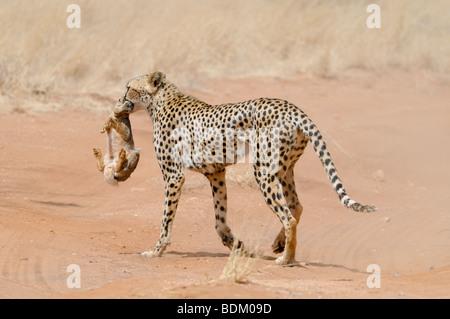 Africa, Kenya, Samburu National Reserve, Cheetah (Acinonyx jubatus) carries a hunted rabbit in its mouth back to - Stock Photo