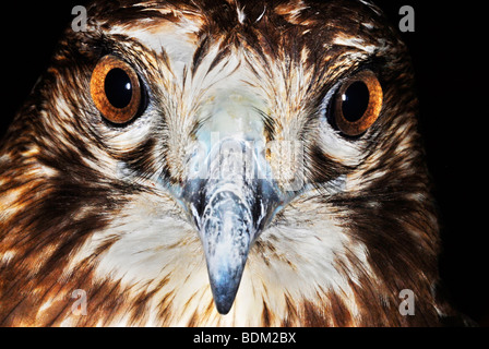 Red-tailed Hawk (Buteo jamaicensis), close-up view of its head - Stock Photo