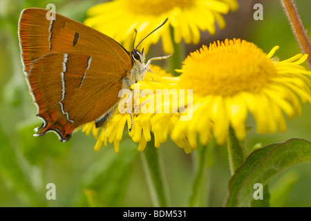 female brown hairstreak - Stock Photo