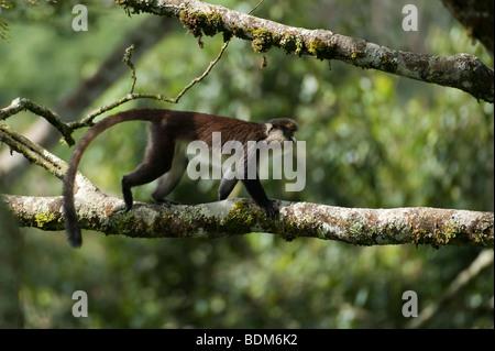 Red-tailed monkey, Cercopithecus ascanius, Nyungwe Forest National Park, Rwanda - Stock Photo