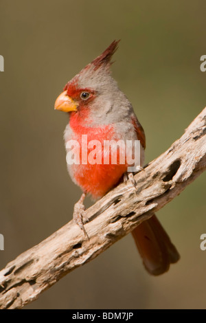 Rio Grande Valley, Texas, USA. The Pyrrhuloxia is a beautiful bird frequently confused with a female northern cardinal - Stock Photo