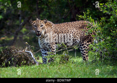 leopard in Yala national park in Sri Lanka - Stock Photo