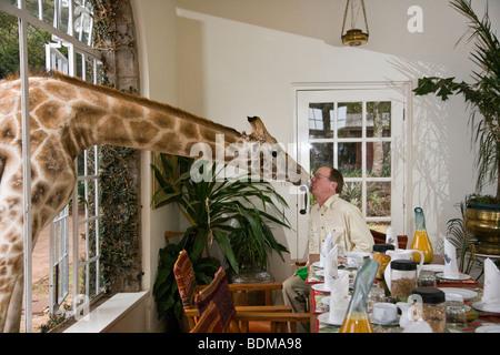 Giraffe Manor wildlife vacation experience affectionate giraffe shares breakfast through window, kisses man at breakfast - Stock Photo